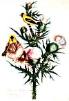 [Goldfinch and thistle] Aquarelle de Susanna Moodie, 1869