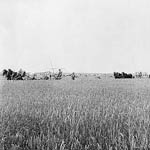 Photograph of harvesting wheat near Sedley, Saskatchewan, date unknown